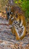 Lös tiger i djungeln india 17 2010 för india för elefant för bandhavgarhbandhavgarthområde umaria för ritt för pradesh för nation Arkivbilder