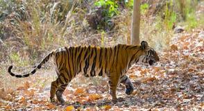 Lös tiger i djungeln india 17 2010 för india för elefant för bandhavgarhbandhavgarthområde umaria för ritt för pradesh för nation Royaltyfria Foton