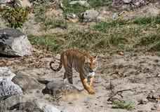 Lös tiger: Kungliga personen går i skogen av Jim Corbett Royaltyfria Foton