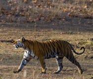 Lös tiger som går på gräs i djungeln india 17 2010 för india för elefant för bandhavgarhbandhavgarthområde umaria för ritt för pr Royaltyfri Bild
