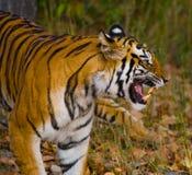 Lös tiger som går på gräs i djungeln india 17 2010 för india för elefant för bandhavgarhbandhavgarthområde umaria för ritt för pr Royaltyfria Foton