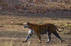 Lös tiger som går på gräs i djungeln india 17 2010 för india för elefant för bandhavgarhbandhavgarthområde umaria för ritt för pr Fotografering för Bildbyråer