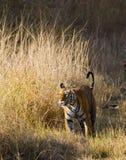 Lös tiger som går på gräs i djungeln india 17 2010 för india för elefant för bandhavgarhbandhavgarthområde umaria för ritt för pr Arkivbilder