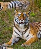 Lös tiger som ligger på gräset india 17 2010 för india för elefant för bandhavgarhbandhavgarthområde umaria för ritt för pradesh  Arkivbilder