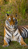 Lös tiger som ligger på gräset india 17 2010 för india för elefant för bandhavgarhbandhavgarthområde umaria för ritt för pradesh  Royaltyfri Fotografi