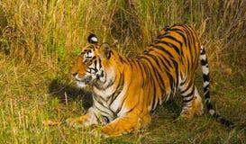 Lös tiger som ligger på gräset india 17 2010 för india för elefant för bandhavgarhbandhavgarthområde umaria för ritt för pradesh  Royaltyfri Bild