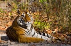 Lös tiger som ligger på gräset india 17 2010 för india för elefant för bandhavgarhbandhavgarthområde umaria för ritt för pradesh  Fotografering för Bildbyråer