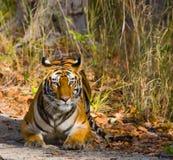 Lös tiger som ligger på gräset india 17 2010 för india för elefant för bandhavgarhbandhavgarthområde umaria för ritt för pradesh  Arkivfoton