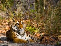 Lös tiger som ligger på gräset india 17 2010 för india för elefant för bandhavgarhbandhavgarthområde umaria för ritt för pradesh  Royaltyfria Bilder