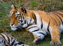 Lös tiger som ligger på gräset india 17 2010 för india för elefant för bandhavgarhbandhavgarthområde umaria för ritt för pradesh  Royaltyfria Foton