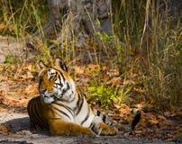 Lös tiger som ligger på gräset india 17 2010 för india för elefant för bandhavgarhbandhavgarthområde umaria för ritt för pradesh  Arkivfoto