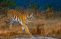 Lös tiger två i morgonskymningen i djungeln india 17 2010 för india för elefant för bandhavgarhbandhavgarthområde umaria för ritt Arkivfoton