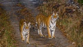 Lös tiger två på vägen india 17 2010 för india för elefant för bandhavgarhbandhavgarthområde umaria för ritt för pradesh för nati Royaltyfria Foton