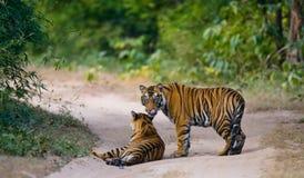 Lös tiger två på vägen india 17 2010 för india för elefant för bandhavgarhbandhavgarthområde umaria för ritt för pradesh för nati Arkivfoto