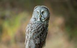Lös uggla i natur Fotografering för Bildbyråer