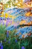 Lös-växande lupineblommor Royaltyfri Fotografi