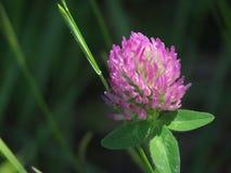 Lös växt av släktet Trifolium Arkivfoton