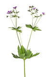 Lös växt med lilablommor som isoleras på vit Royaltyfria Foton