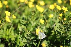 Lös vårblomma i ett fält Royaltyfri Fotografi