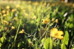 Lös vårblomma i ett fält Arkivfoto