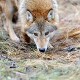 Lös varg i skog Arkivbild