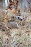 Lös varg i skog Arkivfoton