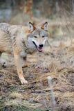 Lös varg i skog Royaltyfri Fotografi