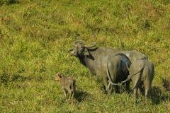 lös vattenbuffel med kalven, Bubalusarneemigona från Sri Lanka Royaltyfri Bild