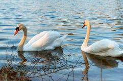 Lös vattenfågel på sjön, två svanar på dammet arkivbild