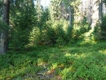 Lös vegetation av bergskogar Arkivbild