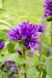 Lös violett blomma i naturen Arkivbilder