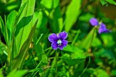Lös violett blomma i vår arkivfoton