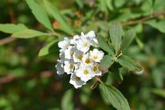 Lös vit blomma Arkivfoton