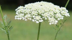 Lös vit blomma stock video