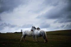 Lös vit häst, på ett welsh berg nära Llangorse sjön Royaltyfri Fotografi