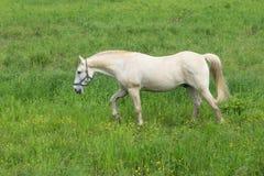Lös vit häst som poserar på en grön bakgrund royaltyfri fotografi