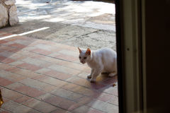 Lös vit kroatisk katt Nerezine Arkivfoto