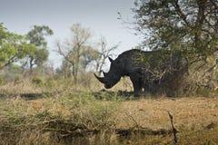 Lös vit noshörning, Kruger nationalpark, SYDAFRIKA Arkivbild