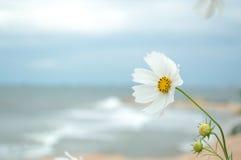 Lös vit ren blomma Arkivbilder