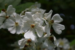 Lös vit som svamlar rosor i trädgård Royaltyfria Bilder