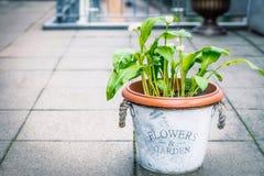 Lös vitlök i blommakruka på balkongen som är utomhus- Odling av kökörter Arkivfoton