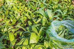 Lös vitlök i en plastpåse bland de gröna sidorna royaltyfri foto
