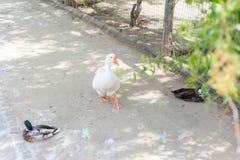 Lösa änder och gäss i sommar nära dammet i reserven ornithology royaltyfri bild