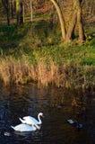 Lösa änder och whtesvanar som simmar bredvid färgrikt gräs Royaltyfri Foto