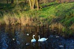 Lösa änder och whtesvanar som simmar bredvid färgrikt gräs Royaltyfria Bilder