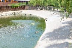 Lösa änder simmar i ett damm i en sommar parkerar ornithology Liv av lösa fåglar arkivfoton