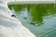Lösa änder simmar i ett damm i en sommar parkerar ornithology Liv av lösa fåglar arkivbilder