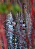 Lösa änder som simmar bak röda skott av den gemensamma snowberryen arkivbild