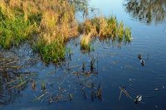 Lösa änder som simmar bredvid färgrikt gräs Fotografering för Bildbyråer