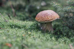 Lösa ätliga champinjoner, Poricino, stensopp som växer i skogen Royaltyfria Bilder